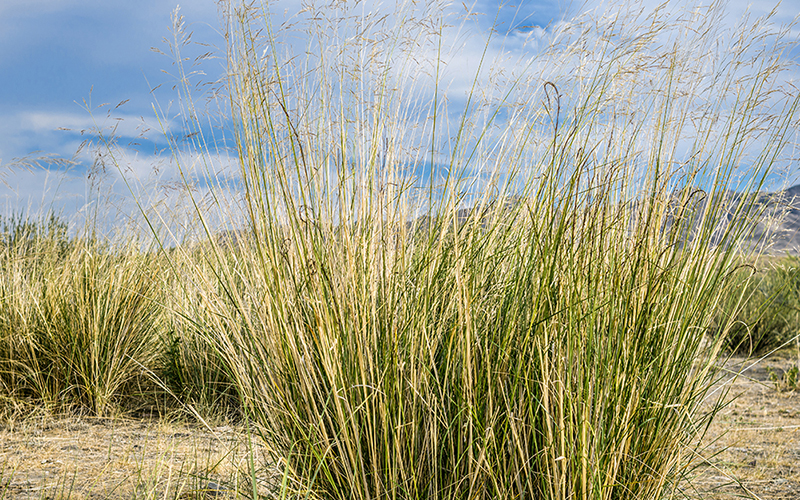 Switchgrass is used as a biomass crop for advanced biofuel production. Image credit: LLNL