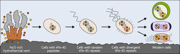 Life may have arisen near hydrothermal vents rich in iron and sulfur. The earliest cells incorporated these elements into small peptides, which became the first and simplest ferredoxins — proteins that shuttle electrons within the cell — to support metabolism. As cells evolved, ferredoxins mutated into more complex forms. The ferredoxins in modern bacteria, plant and animal cells are all derived from that simple ancestor. Illustration by Ian Campbell/Rice University