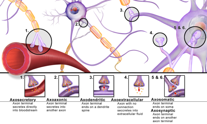 Different types of synapses. Image credit: Blausen.com staff (2014)