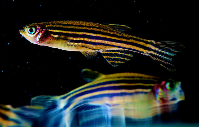 Researchers use zebrafish to gain insight into the origins of birth defects, heart disease, and other human disorders and conditions, including sleep patterns. Credit: Uri Manor, NICHD via Flickr, CC BY 2.0