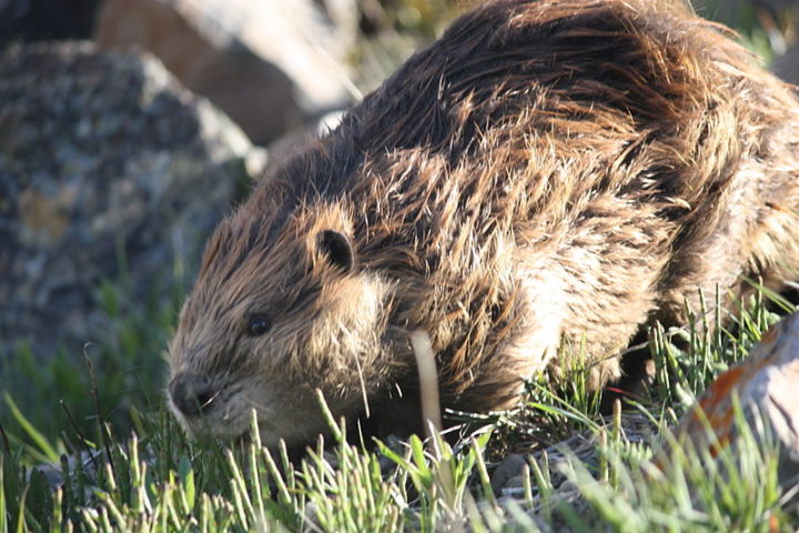 A beaver. Image credit: Makedocreative via Wikimedia, CC-BY-SA-3.0