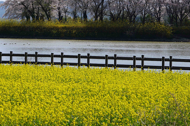 Indian mustard, like the yellow flowered plants above, is an important agricultural crop in many parts of the world. Image credit: Soon Goo Lee/Washington University in St. Louis