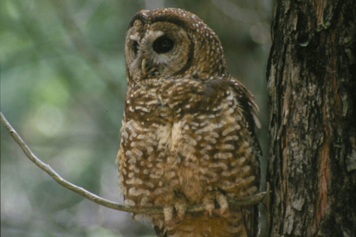 Spotted owls, native to the old-growth forests of the West Coast, have already lost much of their former habitat to logging. Without active forest management, the birds now risk losing even more of their remaining habitat to wildfire, a new paper argues. Illustration by Tom Munton/UC Berkeley