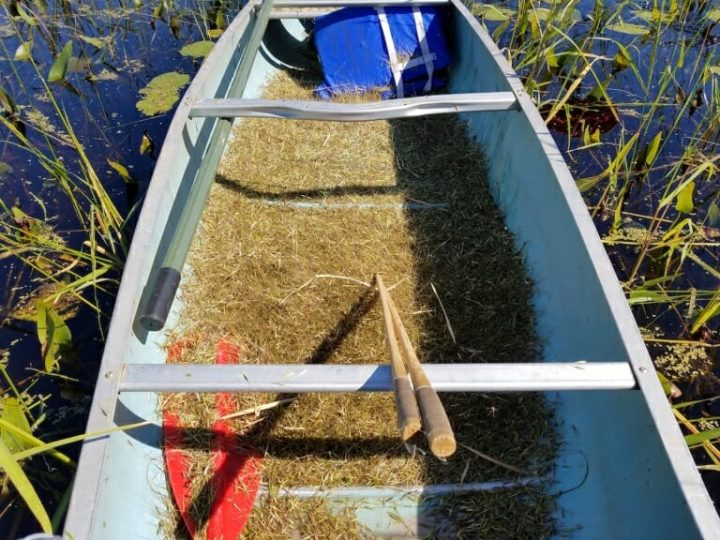 A canoe filled with wild rice—along with the knockers used to harvest it—after a ricing trip on the Lac du Flambeau Reservation. Image credit: Sarah Dance, University of Wisconsin-Madison