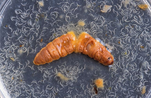 Inside this plump wax moth cadaver are thousands of wiggly nematodes ready to serve as biocontrols against soil-dwelling crop pests. Wax moth larvae cadavers proved too fragile for the new carcass-taping method, however, so mealworms are used instead.