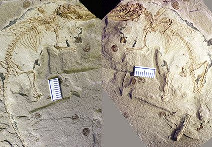 The fossil of Microdocodon gracilis is preserved in two rock slabs. It was found in a site near the Wuhua village in the Daohugou area of Inner Mongolia, China. (Photo by Zhe-Xi Luo, the University of Chicago)
