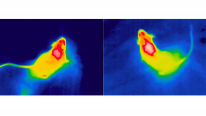 Princeton researchers found that brain cells known to regulate hunger also control energy expenditure. As our body weight depends both on the calories we consume and the energy we burn, their findings could lead to a new type of weight-loss medication that acts on both sides of the energy equation. This image from a heat-sensitive camera shows the temperature of brown fat, a special form of fat tissue that is burned to produce heat directly in both mice and humans. The researchers turned temperature-sensitive neurons on and off, and they discovered that activating the neurons cooled the animals' brown fat and lowered their core body temperature, while suppressing the neurons amped up heat production — and made the animals less hungry. Image courtesy of the researchers