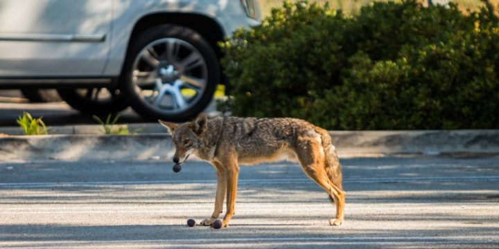 Urban coyotes are surviving on protein-poor diets that might make them more aggressive and leave them vulnerable to a parasite that is harmful to humans, new research suggests. Image credit: National Park Service