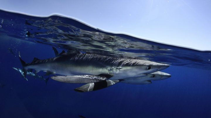Blue sharks follow swirling currents called ocean eddies to find food. Image credit: Nuna Sa/NSF