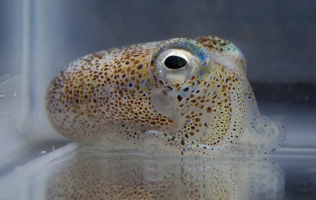 New research reveals competition among bacteria that colonize the bobtail squid's light organ. Image credit: Andrew Cecere/Penn State via NSF