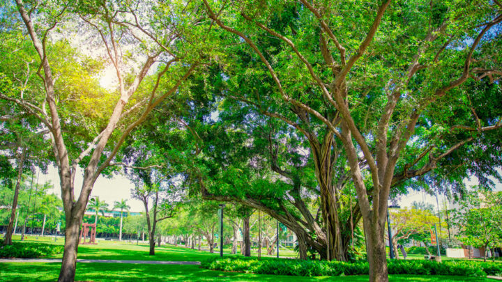 Trees adorn the University of Miami Coral Gables campus. Photo: Mike Montero/University of Miami