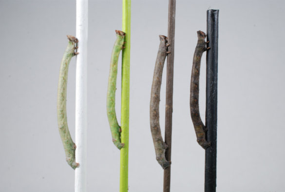 Twig-mimicking caterpillars change their color depending on the background and move to color-matching backgrounds. Image credit: Arjen van't Hof, University of Liverpoool