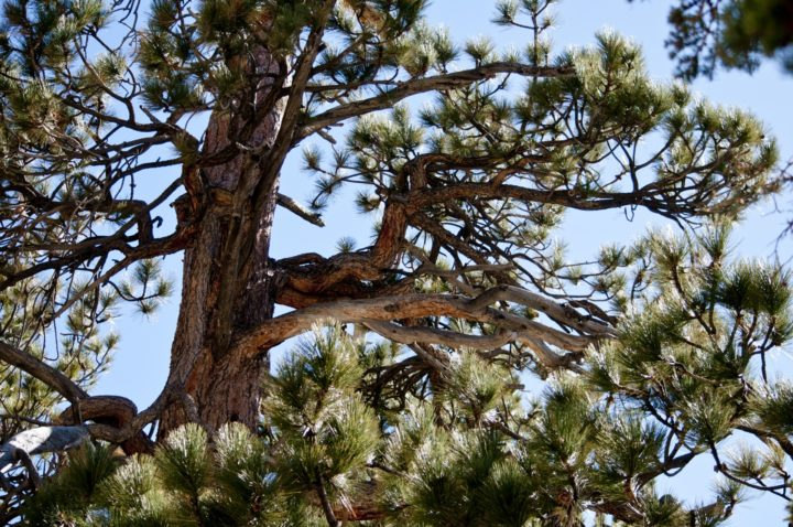 Old pine tree. Image credit: Linnaea Mallette via PublicDomainPictures.net, CC0 Public Domain