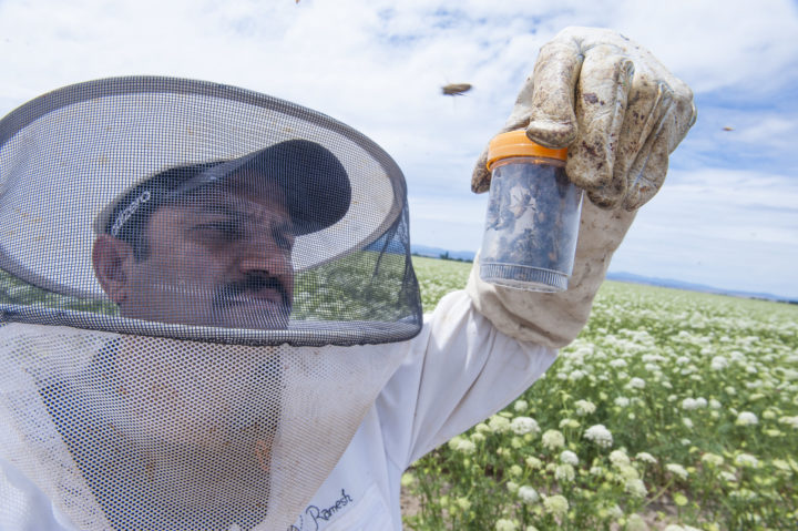 Ramesh Sagili, Oregon State University associate professor of apiculture and Extension specialist, examines honeybees in Madras, Oregon. Photo by Lynn Ketchum, Oregon State University.