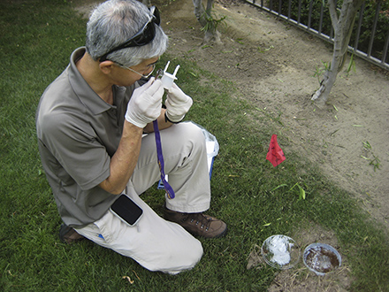 ARS entomologist, David Oi examines phorid fly traps in California to document establishment and spread of the flies. Image credit: Sanford Porter/USDA ARS (D4204-1)