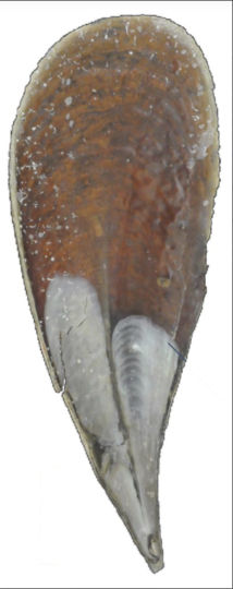 The shell of a fan mussel, or pinna nobilis. Image credit: Hovden Lab