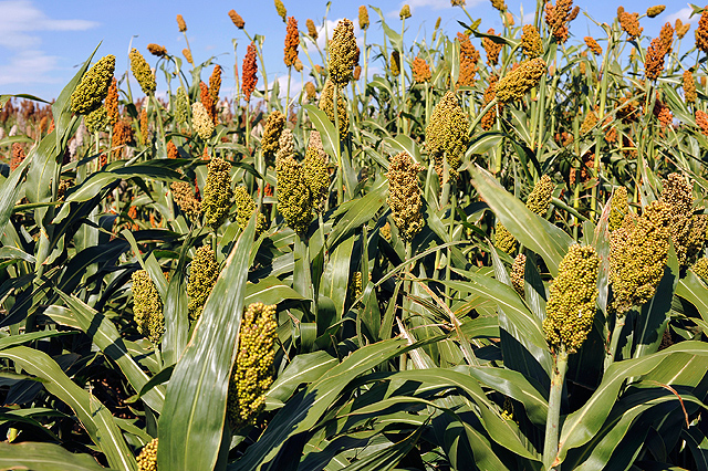 ARS scientists have discovered genes in sorghum that can double the amount of grain that the plant produces. Image credit: Robert Klein/ARS