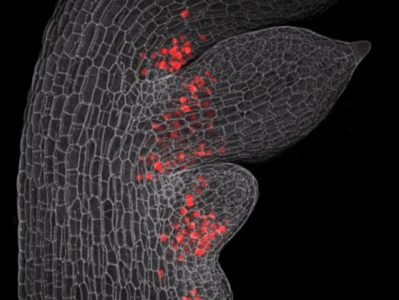 Confocal micrograph of a young leaf of Cardamine hirsuta (hairy bittercress) with emerging leaflets, showing distribution of the RCO protein. Cell outlines are shown in gray. RCO shown here in red colour is active at the base of initiating leaflets where it reduces growth, leading to the formation of leaflets that are separated from each other. Credit: Neha Bhatia and Peter Huijser/MPG