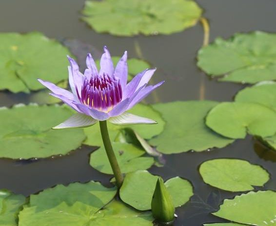 Water lily of the species Nymphaea colorata. The newly reported genome sequence of the water lily sheds light on the early evolution of angiosperms, the group of all flowering plants. Image credit: Liangsheng Zhang/Penn State