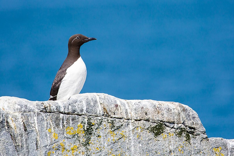 Adult common murres return to island and sea stack colonies from California to Alaska, spending three months during each summer to breed. A single chick takes two parents to hunt for fish.