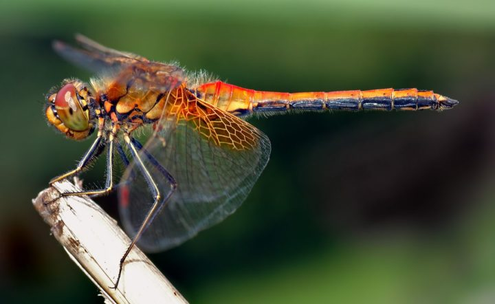 This image shows an about 1.6 inch (4 cm) large male Yellow-winged Darter (Sympetrum flaveolum) from the side. Image credit: Aka via Wikimedia, CC BY-SA 2.5