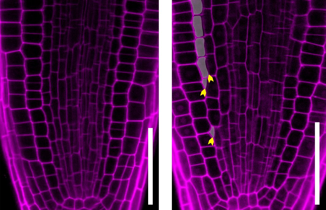 Arabidopsis root tip cells stained with a red dye. Image on the right shows increased cell division when IRK is inhibited. Image credit: Jaimie Van Norman/UCR