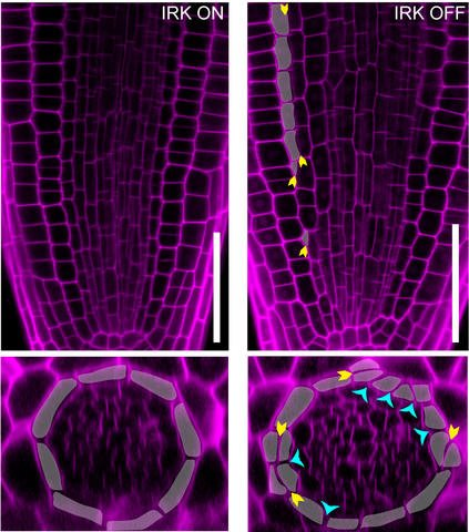 Research identifies possible on/off switch for plant growth