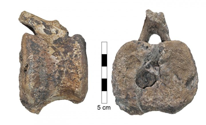 Photograph of the larger hadrosaur vertebra in lateral view (left) and caudal view (right). The space that contained the overgrowth opens to the caudal surface of the vertebra. Image credit: Assaf Ehrenreich, Sackler Faculty of Medicine, Tel Aviv University