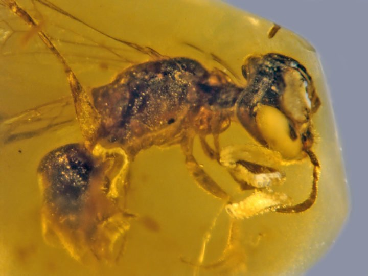Bee with four beetle parasites. Image credit: Oregon State University