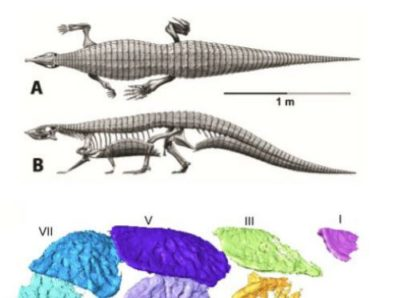 Skeleton of Stagonolepis, the Scottish aetosaur, by Jeffrey Martz (after work by Alick Walker) and reconstructed segment of the tail armour and a single osteoderm in more detail. Image credit: Emily Keeble/University of Bristol