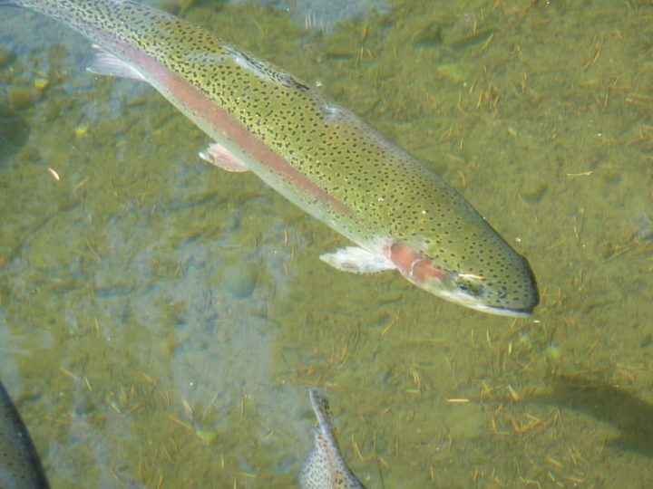 Rainbow trout are the model organism of choice for immunologist Oriol Sunyer of the School of Veterinary Medicine. In a new report, Sunyer and colleagues shed light on the dual roles of a type of antibody in trout—to both defend against pathogens and sustain a healthy microbiome. Image credit: pxfuel, CC0 Public Domain