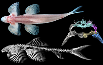 Study suggests at least 11 fish species are able to walk on land