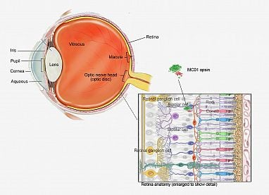 Scientists use gene therapy and a novel light-sensing protein to restore vision in mice - technology