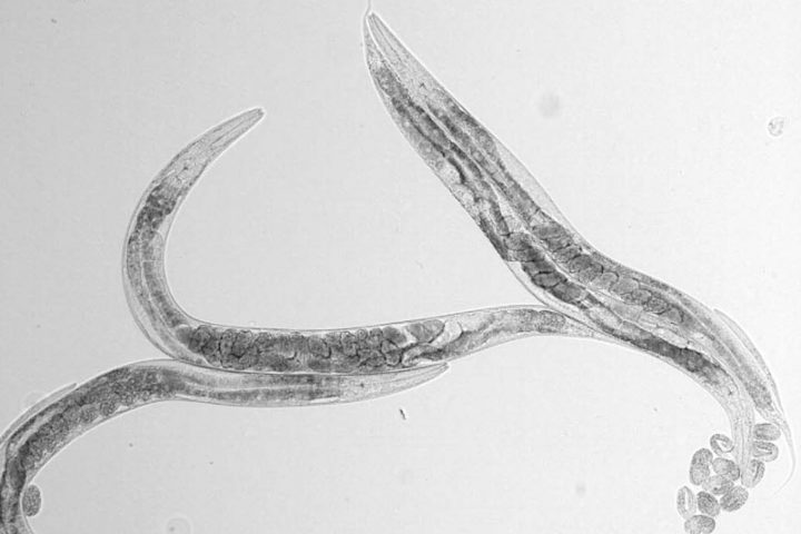 Protein important for taste in nematodes also needed to learn where to find food
