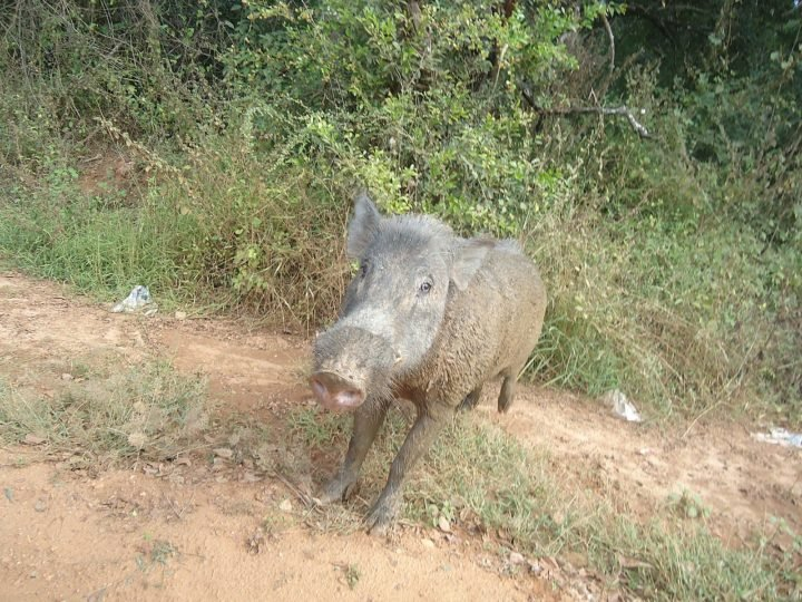 Messy wild pigs may not be that bad – they help build rainforests - technology